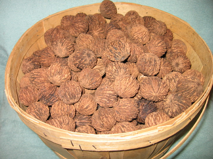 bushel of black walnuts