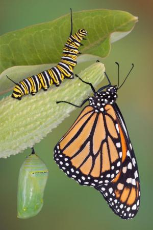 monarch butterfly, caterpillar and chrysalis